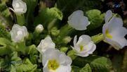 Шопен - Пролетен валс-валс на цветята (chopin - Spring Waltz-waltz of Flowers)