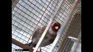 Saka kusu goldfinch 20092