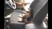 Видра скача в колата и отказва да напусне