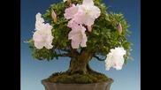 Бонсаи - Дървета Джуджета.mpg