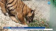 Четири тигърчета се родиха едновременно в зоопарка в Пазарджик