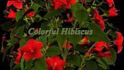 Colorful Hibiscus ... ...