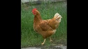 Кокошка Кючек 2