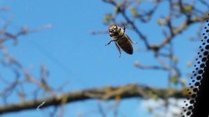 Рапираща пчеличка Bg
