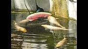 Риби Кои