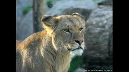 Малко информация за семейство котки - лъвове част 1 !