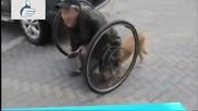Респект! Вижте как това куче помага на стопанина си, който е инвалид и не може да се придвижва сам
