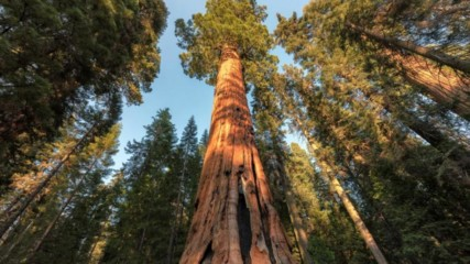 Кое е най-високото дърво на света?