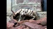 Малка хиена отиде в зоопарк