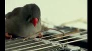 музика от канарчета