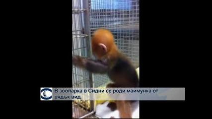 В зоопарка в Сидни се роди маймунка от рядък вид