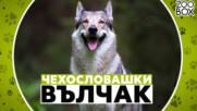 Чехословашки вълчак: една от най-красивите и умни породи кучета