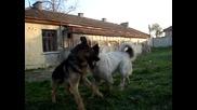 Немска овчарка и каракачанка