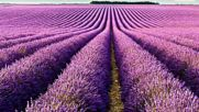 Lavender Лавандула