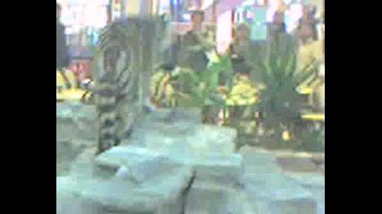 Тигъра На Цум