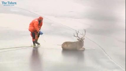 Спасяването на елена попаднал в леденият капан!