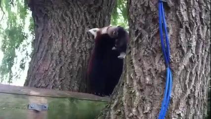Червената панда Мулан представи малкото си