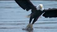 Страховит ловец - белоглав орел