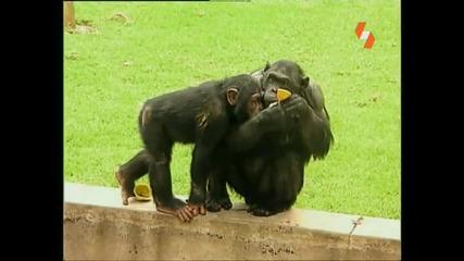 Енциклопедия на животните - Примат