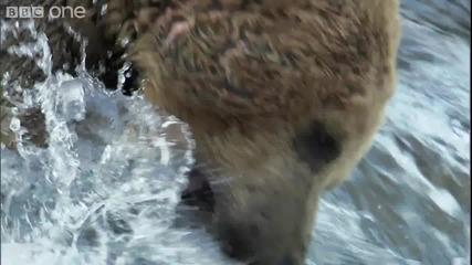 Bbc - Как ловуват кафевите мечки