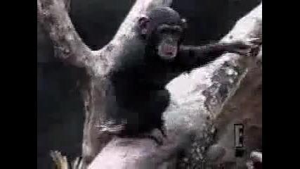 Глупава Маймуна Си Бърка В Гъза И Припада