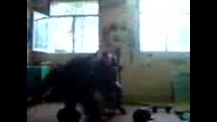 4erni vrah Тенио питона вдигa 3 тона
