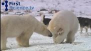 Вижте уникалното приятелство между куче и бяла мечка.