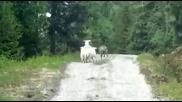 Овца с агънца прогонва вълк