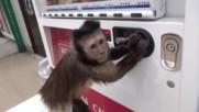 Сладка маймунка си купува сок от автомат