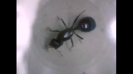 Mravka N1 2