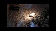 Съскаща отровница яде плъх-2