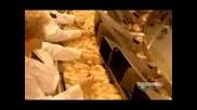 Как Се Излюпват Пиленца Във Фабрика