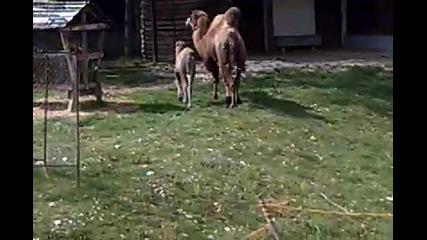 камилите ми