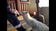 Много сладка арктична лисица бива хранена от човек.