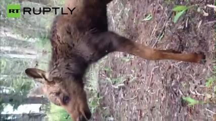 Горски служители убиват бебе лос в САЩ