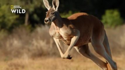Червеното гигантско кенгуру