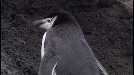 Bbc - Антaрктически Пингвини