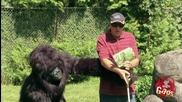 Скрита камера - сляп мъж отива при горила