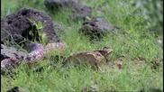 Женски рогат гущер