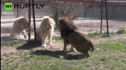 Lions Do Battle for Control of Sevastopol's Taigan Safari Park