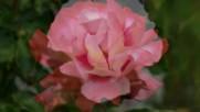 Ernesto Cortazar - There Is Only You - Hermosas Rosas En La Naturez
