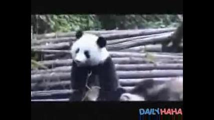 Панда киха