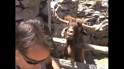 мъж се кара с коза