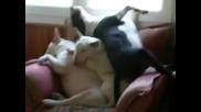 Мързеливи бултериери спят един върху друг !