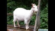 Крб-кантата за козата