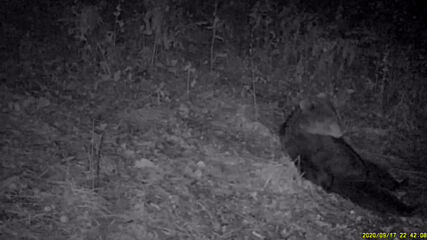 He could BEARly go on! Brown bear caught catching a break during the night