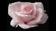 Зимна роза – Манго (превод)