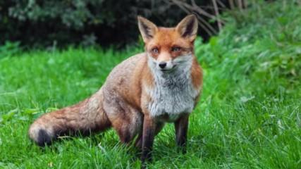 11 невероятни факта за лисиците които ще ви накарат да ги обикнете