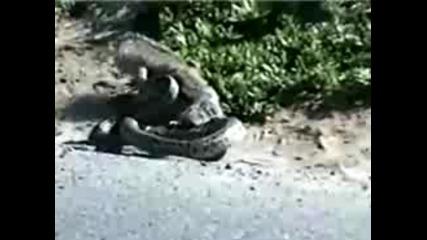 Катерица Срещу Ограмна Змия 100% Danger