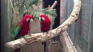 танцуващи папагали на рап